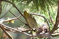 ?? Hermit or Olive Warbler - Rustler Park - Cave Creek - AZ - 2015-08-16at10-36-0111 (21637458495).jpg