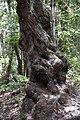 Árbol Parque nacional de Garajonay.jpg
