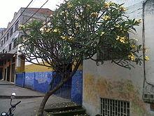 Clusia Multiflora