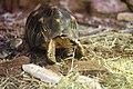 Żółw promienisty-Reptiles in Wrocław Zoo.jpg