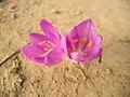 Безвременник осенний - Colchicum autumnale - Autumn crocus (Meadow saffron, Naked lady) - Есенен мразовец - Herbstzeitlose (37127459876).jpg