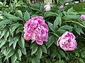 Божури от България - розови.jpg