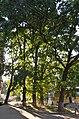 Вікові дерева дуба звичайного, Обухів 011.jpg