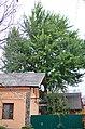 Гінкго дволопатеве. Кам'янець-Подільський. Фото 1.jpg