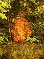 Дубок апельсінавага колеру - panoramio.jpg