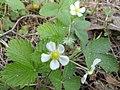Земляника лесная (Fragaria vesca) f011.jpg