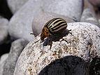 Колорадский жук в бухте Ласпи 2.jpg
