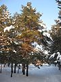Корсунське лісництво 11.jpg