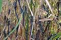 Міграція бабок Aeshna mixta. Таранов кут. 18-19 серпня 2006 р.jpg