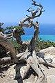Раскидистый можжевельник. Castle Monolithos. Rhodos. Greece. Июнь 2014 - panoramio.jpg