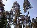 Сосновый бор в Алексине ясным летним днем.jpg
