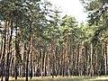 Сосновый лес в районе Песочина..jpg