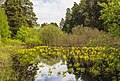 Цветение калужницы болотной в парке.jpg