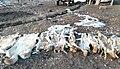 Шкуры волков отстрелянных в Ошской области.jpg