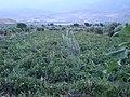 مزرعه گوجه فرنگي - گيلانكشه - panoramio.jpg