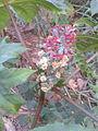 ஆமணக்கு 3 Ricinus communis.jpg