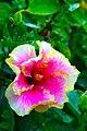 ชบา Hibiscus IMG 9618 Photographs by Peak Hora.jpg