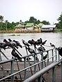 นกพิราบ@ท่าน้ำวัดเฉลิมพระเกียรติ นนทบุรี - panoramio.jpg