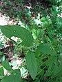 ヒナタイノコヅチ(日向猪子槌)(Achyranthes bidentata var. tomentosa、syn. A. fauriei)-葉 (6180064217).jpg