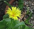 佛手掌 Glottiphyllum uncatum -波蘭 Krakow Jagiellonian University Botanic Garden, Poland- (35850283984).jpg