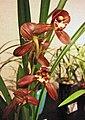 四季紅君荷 Cymbidium ensifolium -香港沙田洋蘭展 Shatin Orchid Show, Hong Kong- (31364300901).jpg