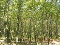 寿县八公山国家森林公园景色-栎树林 - panoramio.jpg
