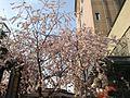 御池桜 - panoramio.jpg