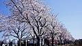 新川2丁目桜並木 2012.04.08 13-42 - panoramio.jpg