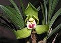 春蘭-荷瓣 Cymbidium goeringii Lotus-series -香港沙田國蘭展 Shatin Orchid Show, Hong Kong- (9255190290).jpg