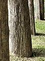 柚木 Tectona grandis 20210907093544 06.jpg