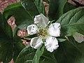 歐楂 Mespilus germanica -比利時 Leuven Botanical Garden, Belgium- (9229898720).jpg