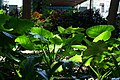 滴水观音(海芋)Alocasia macrorrhizos - panoramio.jpg
