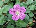 牻牛兒苗屬 Erodium × variabile -日本大阪鮮花競放館 Osaka Sakuya Konohana Kan, Japan- (27355333207).jpg