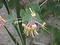 紫莖忍冬 Lonicera x americana -牛津大學植物園 Oxford Botanic Garden- (9255248138).jpg