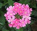 美女櫻 Verbena hybrida -香港花展 Hong Kong Flower Show- (9190631509).jpg
