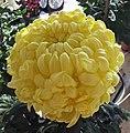 菊花-東海日出 Chrysanthemum morifolium 'Sunrise' -香港圓玄學院 Hong Kong Yuen Yuen Institute- (11961611504).jpg