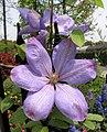 鐵線蓮 Clematis 'Mrs Cholmondeley' -上海國際花展 Shanghai International Flower Show- (16728375304).jpg