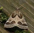 -11135 – Schinia rivulosa – Ragweed Flower Moth (42228478830).jpg