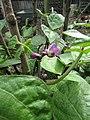 -2019-07-02 Purple dwarf bean plant in flower (Phaseolus vulgaris), Trimingham, Norfolk.JPG