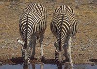 00296 zebra.jpg