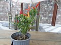 1- a Chili peppers, Author David Adam Kess, Photography by David Adam Kess, pic.aaaa.jpg