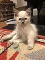 10 week old bluepoint male ragdoll kitten.jpg