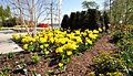 14-04-16 Zülpich Tulpen 01.jpg