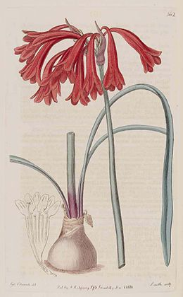 162 Cyrtanthus collinus