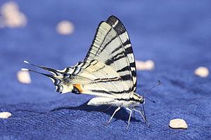 Papilio butterfly Croatia