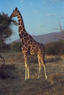 1993 147-3A Samburu reticulated giraffe.jpg