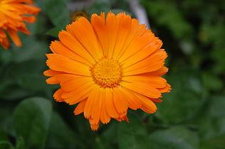 Orange Flowers Wikimedia Commons