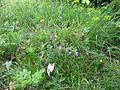 2009-06-17 Flora am Eisenstein (Niederösterreich) 7.jpg