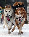 2010 Iditarod - very determined dogs - I think they are from Merissa Osmar's team (4416489064).jpg
