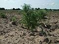 20120511Tripleurospermum inodorum6.jpg